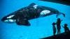 Дельфины обучили косаток своей речи