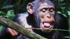 Зависть и нужда заставила шимпанзе изобрести ловушку для агрессивных муравьев