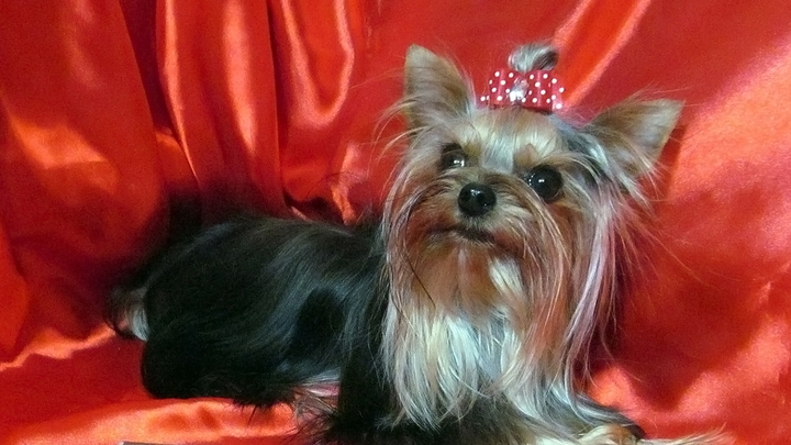 Муха-Цокотуха из Челябинска признана самой маленькой собакой в России