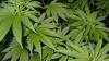 Жители Вашингтона проголосовали за легализацию марихуаны