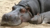 Колумбийские ветеринары проведут масштабную стерилизацию бегемотов наркобарона