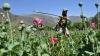 Афганистан побил свой рекорд по производству опия