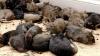 Госбольница в Индии пытается избавиться от наводнивших ее крыс