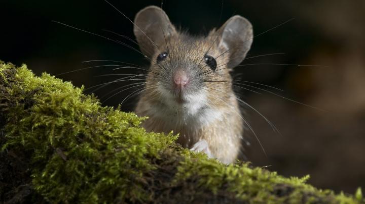 В Гарварде смогли обратить вспять старение у мышей