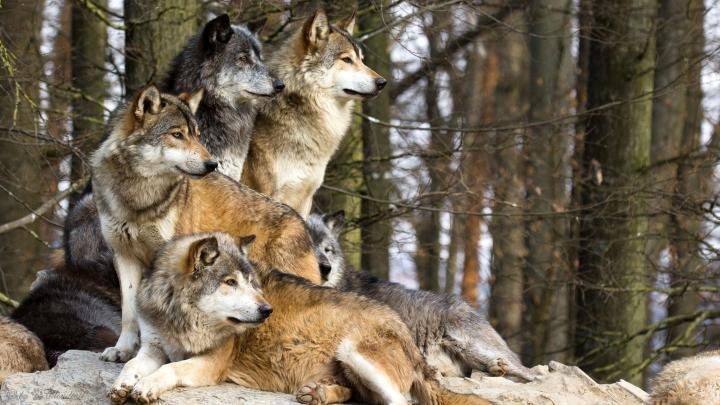 В Крыму ждут нашествия волков: в заповеднике предложили ввести лимиты на отстрел
