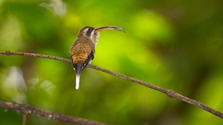 Клювы колибри оказались колющим оружием
