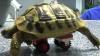Черепаху с больными лапами оснастили колесами Lego
