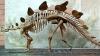 Британские ученые приступили к детальному изучению скелета стегозавра