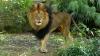 В зоопарке Барселоны мужчина прыгнул в вольер со львами