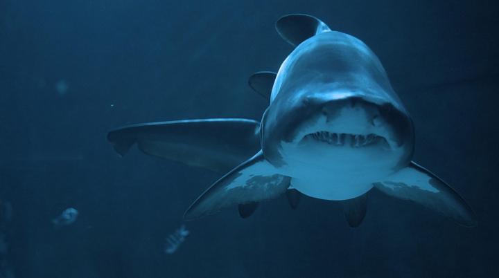 (ВИДЕО) Турист в Кейптауне помог родиться трём акулятам после гибели их матери