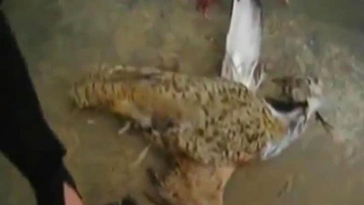 Талибы сделали взрывающийся беспилотник из живой птицы