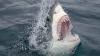 Исследование: Акулы тонут в пресной воде