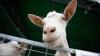 Сельчане говорят, что если за козами хорошо ухаживать, то молоко будет вкуснее
