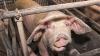 Россия запретила ввоз киевских свиней