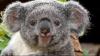 Коала в Австралии пыталась  угнать автомобиль