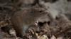 Фермеры считают убытки: на полях нашествие мышей
