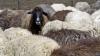 Наступил самый оживлённый период для овцеводов