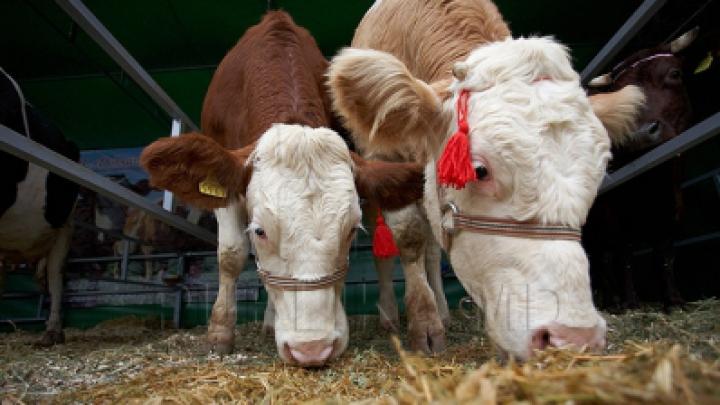 Во Флорештском районе задержан грузовик с пятью коровами
