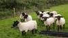 Ирландский фермер заменил собаку-пастуха дроном (ВИДЕО)
