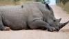 В Непале носорог убил женщину и ранил шесть человек
