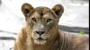 Львица здорово напугала туристов, открыв дверь в их машину (ВИДЕО)