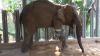 В Таиланде слон сменил пятый протез ноги
