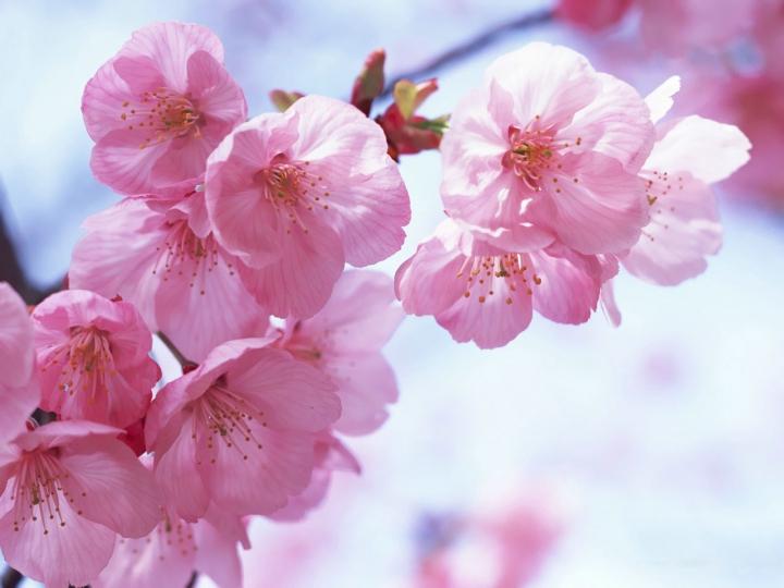 В Японии начался Фестиваль любования сакурой