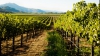 Молдова заняла 13 место в мире по площади виноградников
