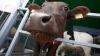 В молдавских хозяйствах отмечен рост поголовья домашнего скота и птицы