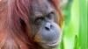 Британские орангутанги научились снимать селфи (ВИДЕО)
