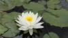 Столичный Дендрарий радует посетителей цветущими кувшинками