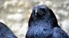 Ученые выяснили, что вороны умеют считать