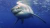 Гавайские акулы вынуждены защищаться от людей