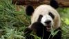 Маленькая панда не хочет купаться (ВИДЕО)