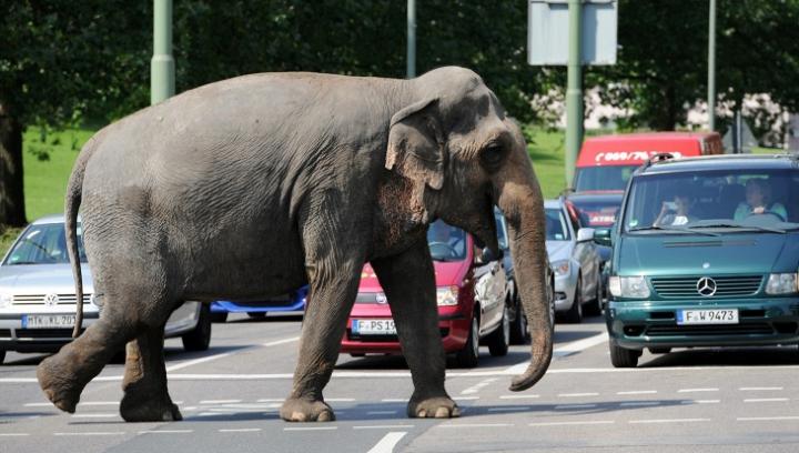 В Германии слон сбежал из цирка и убил человека