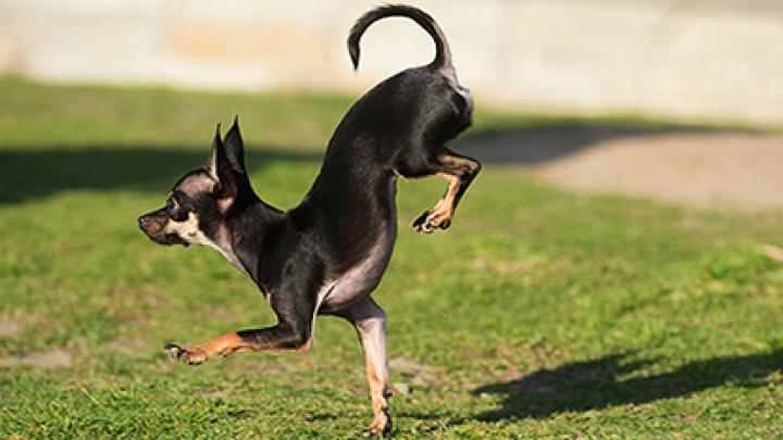 Собака из Калифорнии стала рекордсменкой по бегу на передних лапах