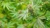 В Чили частично легализовали марихуану