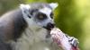 Питомцы римского зоопарка спасаются от жары мороженым (ВИДЕО)