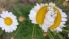 Цветы-мутанты из Фукусимы стали хитом в Интернете (ФОТО)