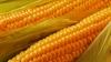 Кукурузы в этом году будет меньше обычного