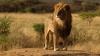 Испанец застрелил на львином сафари живой символ Зимбабве