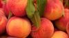 В Молдове - богатый урожай персиков, но возможность его продать невелика