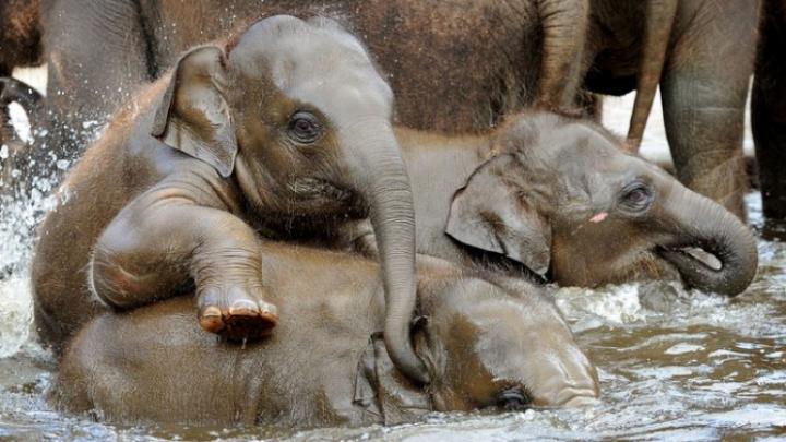 В японском зоопарке построили бассейн для слонов (ВИДЕО)