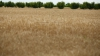 Фермер из села Бэхринешты собрал более шести тонн пшеницы нового сорта