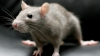 Как крысы проникают в квартиры через унитаз (ВИДЕО)