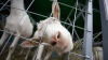 В США козы очистили кладбище от сорняков