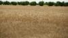 Молдова рискует остаться без урожая зерновых в будущем году