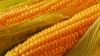 В селе Мэлэешты Оргеевского района собирают урожай кукурузы: аграрии недовольны