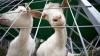 Волки только за неделю задрали не менее 23 коз в Тараклийском районе