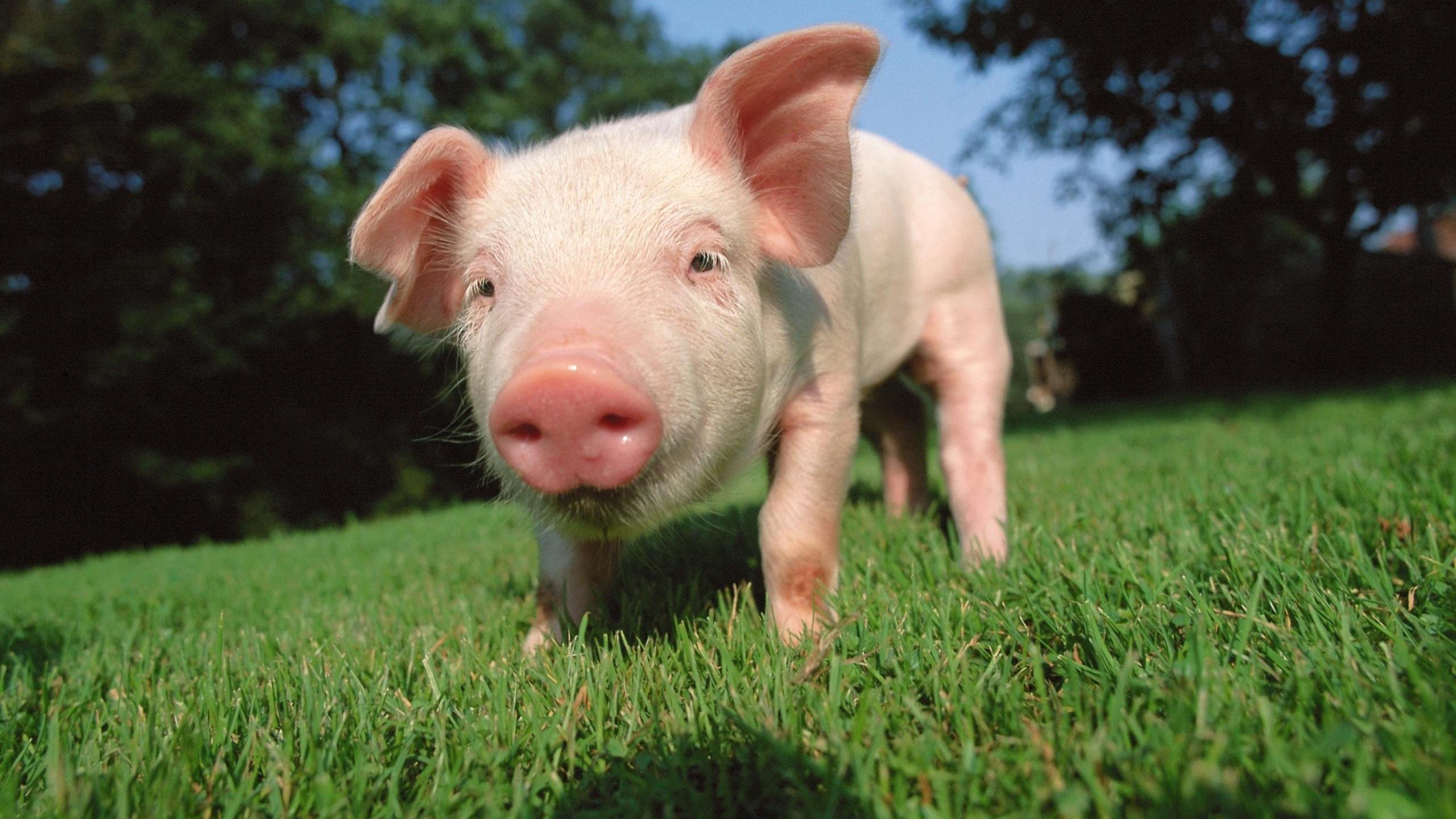 собака домашние свиньи фото сайте